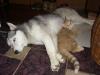 Hundebetreuungwien - Siberian Husky Weibchen Luna und Katzenbaby Sam