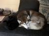 Hundebetreuungwien - Husky Maruk/Kätzin Naomi