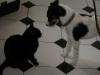 Hundebetreuungwien - Hauskatze Amelia/ Terrier Max