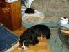 Hundebetreuungwien - Kätzin Amelia und Berner Sennenhund Bruno