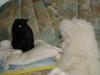 Hundebetreuungwien - Hauskatze Amelia und Grosspudel Moritz mustern sich