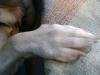 Hundebetreuung Wien / Die Pfoten des Hundes - Die Pfote des Hundes hat einen komplizierten Aufbau und besteht aus zahlreichen kleinen Knochen und Ligamenten. Zur Vorderpfote gehören 32 Knochen, 85 Ligamente, 25 Muskeln und 48 Gelenkflächen.