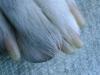 Hundebetreuung Wien / Die Hundekrallen - Krallen (oder Nägel) bestehen aus totem Horn, sie sind daher nicht schmerzempfindlich. Die Haut, aus der sie gebildet werden ist jedoch sehr stark mit Blut versorgt.