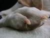 """Hundebetreuung Wien / Vorderpfote - Die Vorderpfote besitzt 5 Zehen mit 5 Krallen und besteht aus Fusswurzelballen (die kleineren 4 Ballen an der """"Pfotenspitze""""), Sohlenballen (der dicke Laufballen) und dem Zehenballen. Der Zehenballen ist ein kleiner Ballen an der Rückseite."""