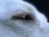 Hundebetreuung Wien / Das Auge des Hundes - Hunde haben an jedem Auge ein drittes Augenlid, die Nickhaut. Diese ist größtenteils unter dem unteren Lid versteckt, und man kann nur ein kleines Stückchen dieser farbigen Membrane am inneren Augenwinkel erkennen.