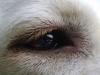 Hundebetreuung Wien / Das Hundeauge - Da die Augen unserer Hunde seitlich ausgerichtet sind haben sie ein Seh/Sichtfeld von 240 Grad, im Gegensatz zum Menschen mit 140 Grad, was natürlich das  räumliche Sehen beeinflußt.