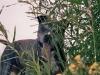 Amerikanischer Staffordshire - Terrier / Eine weitere Besonderheit dieser Rasse ist die Suche nach dem Blickkontakt mit den Menschen. Ein fast unbegrenztes Repertoire an Mimikvarianten ist nicht nur lustig und amüsant, nein, es ist oft der Schlüssel damit AmStaff erreicht -- was AmStaff gerne möchte. In solchen Momenten liebevoll aber unbedingt konsequent zu bleiben ist die grosse Kunst bei der richtigen Erziehung des American Staffordshire Terrier.