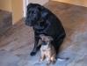 Labrador und Griffon Petit Brabançon