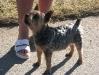 Yorkshire Terrier Weibchen Fuchsi