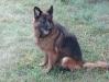 Belgischer Schäferhund rastet