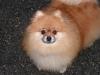 Pomeranian Mix/Luci