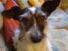Jack Rassel Terrier Mix Winni - Hundesitter Wien