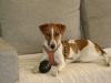 Parson Russell Terrier - Ein Parson ist ein äußerst charmanter, verspielter, liebenswerter und intelligenter Hund, aber in den falschen Händen kann er unfolgsam, aggressiv und destruktiv werden.