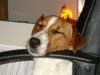 Jack Russel Parson Terrier - Deswegen sind Welpen- und Junghundekurse für diesen überaus intelligenten Hund mit Nachdruck zu empfehlen.