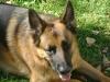 German Shepherd Dog - Shepherd Picture Stieglecker Vienna Austria