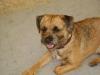 Border Terrier - Seine Herkunft ist unklar, wahrscheinlich hat er denselben Ursprung wie der Dandie Dinmont Terrier und der Bedlington Terrier.