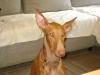 Podenco Canario - Der Podenco Canario gehört zur Gruppe der windhundähnlichen, mediterranen Jagdhunde, die man auch im Mittelmeerraum findet.