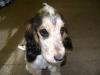 Cocker Spaniel Zobelschimmel - Der Cocker Spaniel ist die wohl am meisten verbreitete Spanielrasse. Seit mehr als 100 Jahren hat sich dieser fröhliche, kompakte Hund (Schulterhöhe 38-41 cm) zu einem liebenswerten Begleit- und Familienhund, aber auch zu einem jagdlich vielseitig einsetzbaren Stöberhund entwickelt.