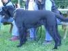 Schnauzer - Schnauzer sind rauhhaarige Haushunde mit einem kräftigen Schnauzbart und dichten Augenbrauen.