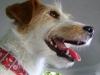 Terrier - Heute werden die Terrier in vielen Bereichen gebraucht. Es gibt solche, die als Jagdhunde eingesetzt werden, das ist beispielsweise beim Welsh-Terrier oder beim Lakeland-Terrier der Fall.
