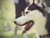Husky - Im Regelfall laufen die Hunde im Team (also mindestens zwei) um jemanden zu ziehen.