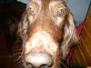 Setter Brix verwundert - Betreuter Hund