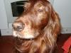Irish Setter beim Posen - Hundesitting