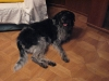 Irish Wolfhound Mix Lilly - Hundebetreuung mobil vor Ort