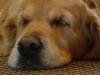 Hunde Sehsinn - Hunde sehen die Farben die wir als gelb, orange, rot und grün sehen eher als blau und grau. Hunde sehen allerdings viel mehr unterschiedliche Grau Töne als wir Menschen