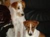 Parson Terrier - Der Parson Russell und Jack Russell Terrier, zwei Rassen mit einer Vergangenheit. Definiert wird die Rassezugehörigkeit vor allem durch die unterschiedliche Schulterhöhe und die daraus resultierenden unterschiedlichen Propotionen. Der Parson und Jack Russell Terrier Club ist der Vertreter beider Rassen im Österreichischen Kynologen Verband ÖKV