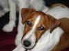 Parson Terrier - Im Gegensatz zu andern Jagdhunden, speziell Terriern, zeichnet sich der JRT dadurch aus, dass er zwar beherzt, gleichzeitig aber besonnen ist. Er kennt sehr wohl seine Grenzen und begibt sich nicht kopflos in Gefahr