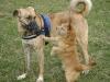 Kangal Pascha und Terrier Peppo schließen Freundschaft