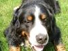 Berner Sennenhund Bruno ist immer gut drauf