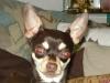 Chihuahua Rüde Browni beim Lauschen