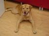 Labrador Männchen Lucky freut sich