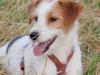Parson Russell Terrier - Es erfordert schon eine gehörige Portion Mut, durch die engen dunklen Röhren
