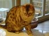 """Bengalkatze - Spielen Sie viel mit Ihrer Bengalkatze!!! Sie liebt es """"Sport zu treiben"""", z.B. mit einer """"Katzenangel"""" Fangen zu spielen. Bengalen """"sprechen"""" gerne, vor allem im ganz jungen Alter; werden sie erwachsener, dann lässt auch der Spaß daran für sie nach und die Stimme wird immer weniger eingesetzt."""