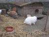 Kleintierbetreuung - Kaninchen Pärchen