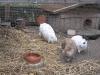 Kleintierbetreuung - Kaninchen Emilie/Marie/Felix
