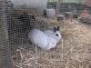 Kleintierbetreuung - Kaninchen Bub Felix und Mädchen Emilie