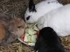 Kaninchenfamilie Emilie/Marie/Peppino/Felix