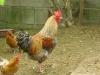 Kleintierbetreuung - Gockelhahn