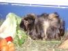 Kleintierbetreuung - Meerschweinchen Bock Benno