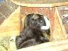 Kleintierbetreuung / Meerschweinchen beim Bewachen