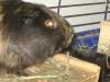 Kleintierbetreuung - Meerschweinchen Weibchen Mimmi
