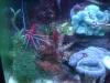 Tierbilder Galerie Stieglecker - Meerwasser Garnele - Garnelen machen sich im Aquarium nützlich, indem sie störende Algen vertilgen.