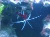 Tierbilder Galerie Stieglecker - Meerwasser Garnele - Je nach Art erreichen Garnelen Körperlängen zwischen fünf und dreißig Zentimetern.