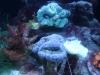 Tierbilder Galerie Stieglecker - Korallen - Innerhalb der Nesseltiere gibt es die Klasse der Blumentiere.