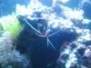 Tierbilder Galerie Stieglecker - Meerwasser Garnele - Allen Garnelen sind ihre langen und filigranen Antennen, der Schwanzfächer und ihr länglich schmaler, hinten gebogener und von einem dünnen Panzer geschützter Körper gemeinsam.