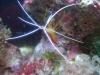 Tierbilder Galerie Stieglecker - Meerwasser Garnele - Garnelen gliedern sich in vier große Familien: